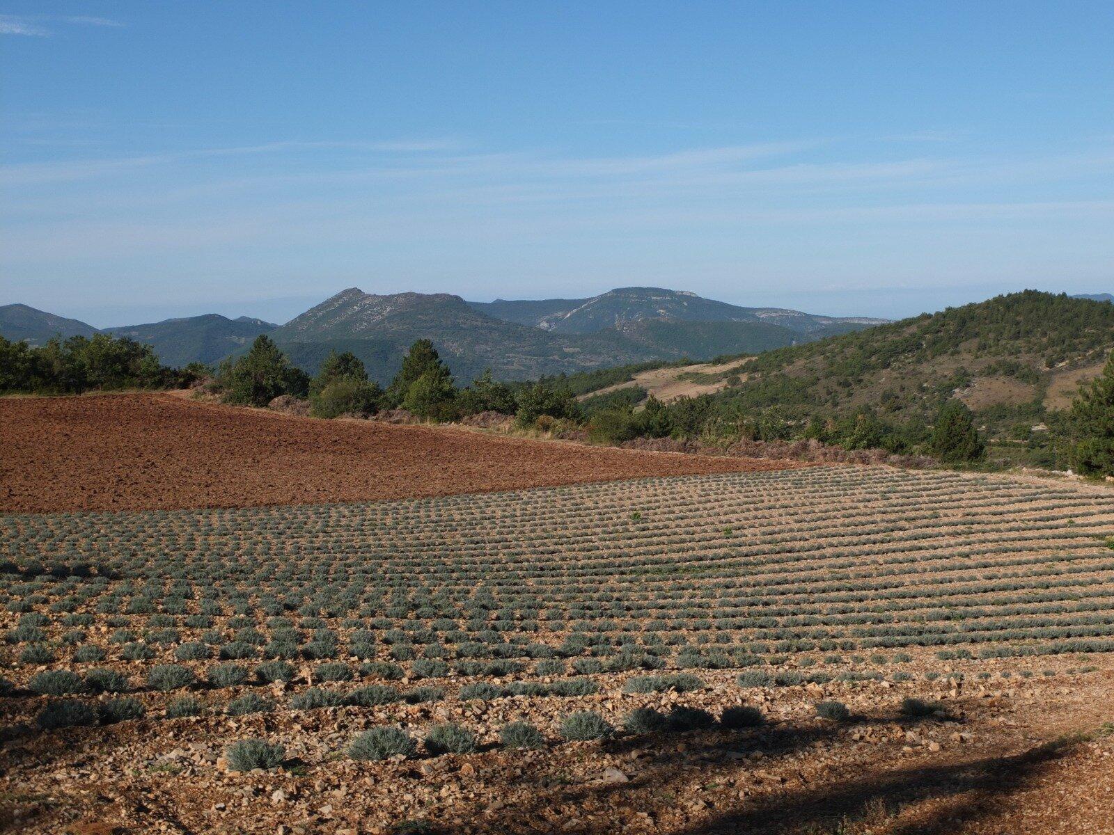 Les champs de lavandin sont en extension