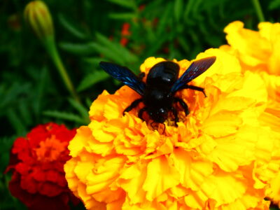 L\'abeille Charpentiere À La Charce